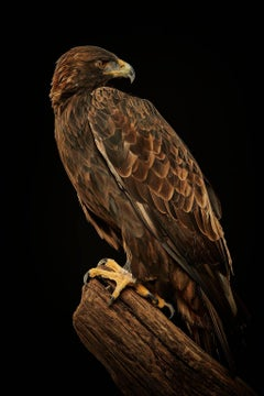 Birds of Prey Golden Eagle No. 22