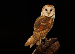 Birds of Prey Barn Owl No. 16