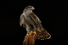 Birds of Prey Northern Goshawk No. 1