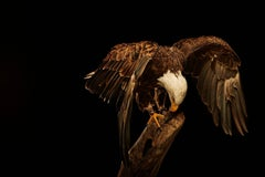 Birds of Prey Bald Eagle No. 18