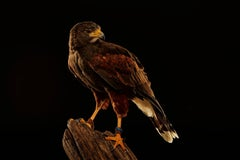 Birds of Prey Harris' Hawk No. 1