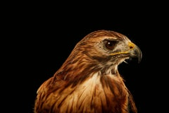 Birds of Prey Red Tailed Hawk No. 4