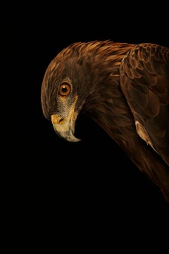 Birds of Prey Golden Eagle No.5