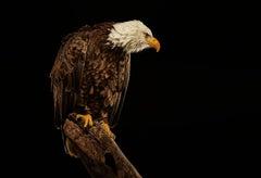 Birds of Prey Bald Eagle No. 17