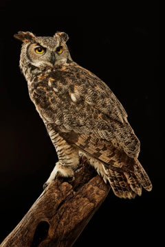 Birds of Prey - Great Horned Owl No. 15