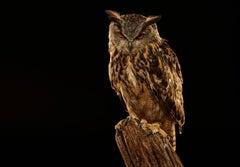 Birds of Prey - Eurasian Eagle Owl No. 12