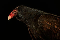 Birds of Prey - Turkey Vulture No. 9