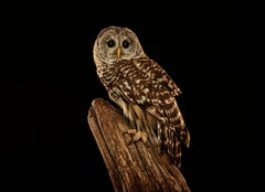 Birds of Prey - Barred Owl No. 10
