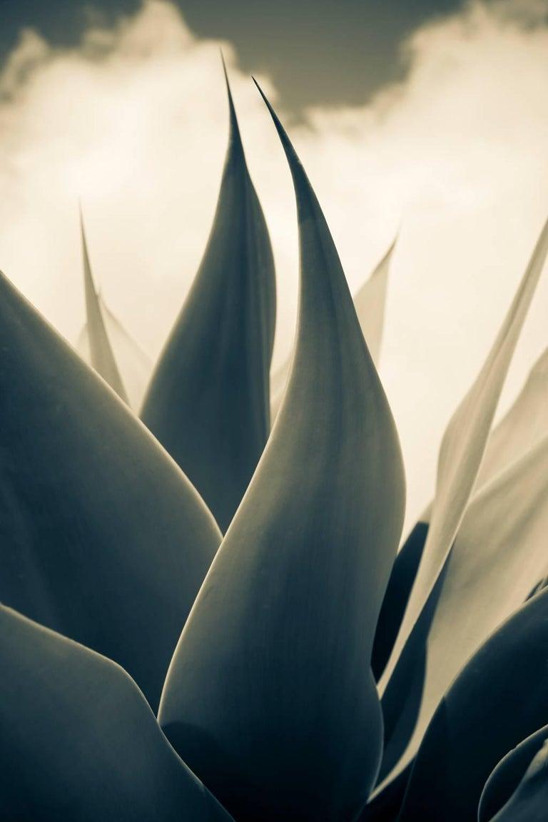 Massimo Di Lorenzo Black and White Photograph - Yucca Leaves, Taormina. Sicily