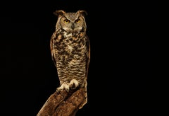 Birds of Prey - Great Horned Owl No.1 4