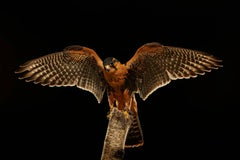 Birds of Prey Aplomado Falcon  No. 6