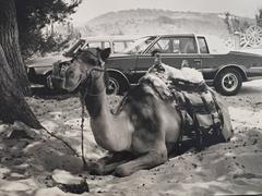 Camel and Cadillac, Black & White Original Silver Gelatin Vintage Photograph