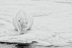 How Much Can A Polar Bear Bear? (Horizontal)