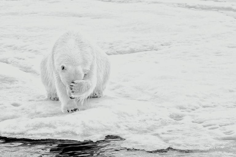 Michael Aw Black and White Photograph - How Much Can A Polar Bear Bear? (Horizontal)