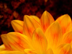 Orange Flower Petal Detail, Color Nature Photography by Geoffrey Baris, Close-up