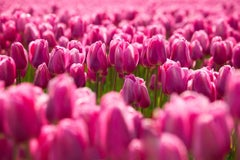 Pink Tulips, Geoffrey Baris, Nature Photography, Color, Flowers