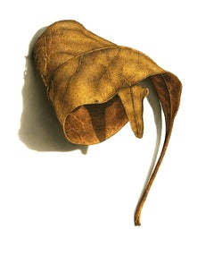 David Morrison, Rusted Leaf Series 3, Photorealist colored pencil drawing, 2006