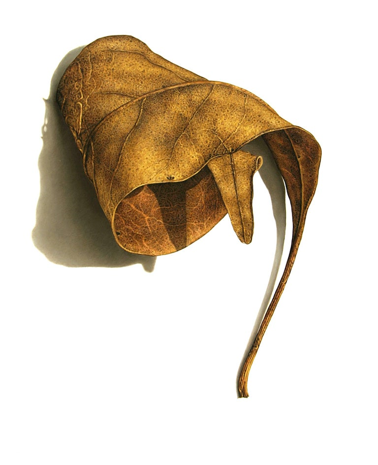 David Morrison, Rusted Leaf Series 3, Photorealist colored pencil drawing, 2006 - Art by David Morrison