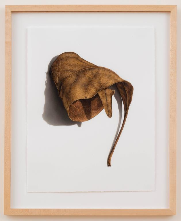 David Morrison, Rusted Leaf Series 3, Photorealist colored pencil drawing, 2006 - Brown Still-Life by David Morrison