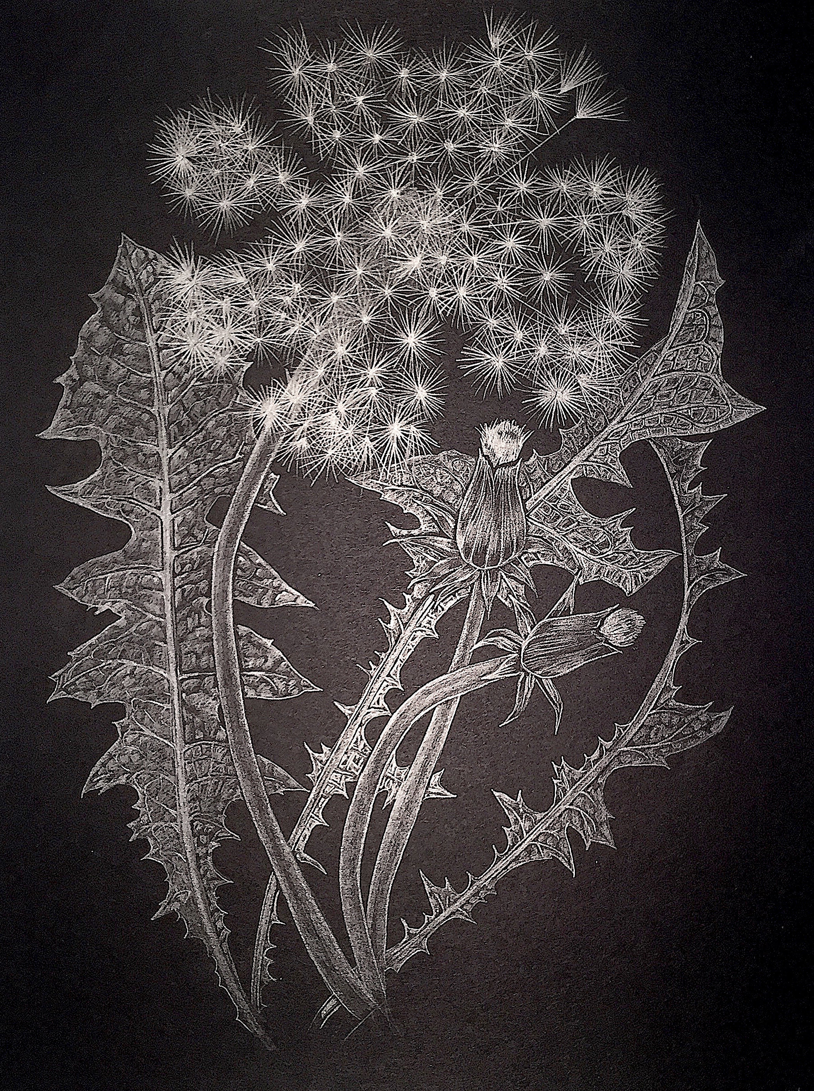 Margot Glass, Dandelion with Buds, graphite on paper realist still life drawing