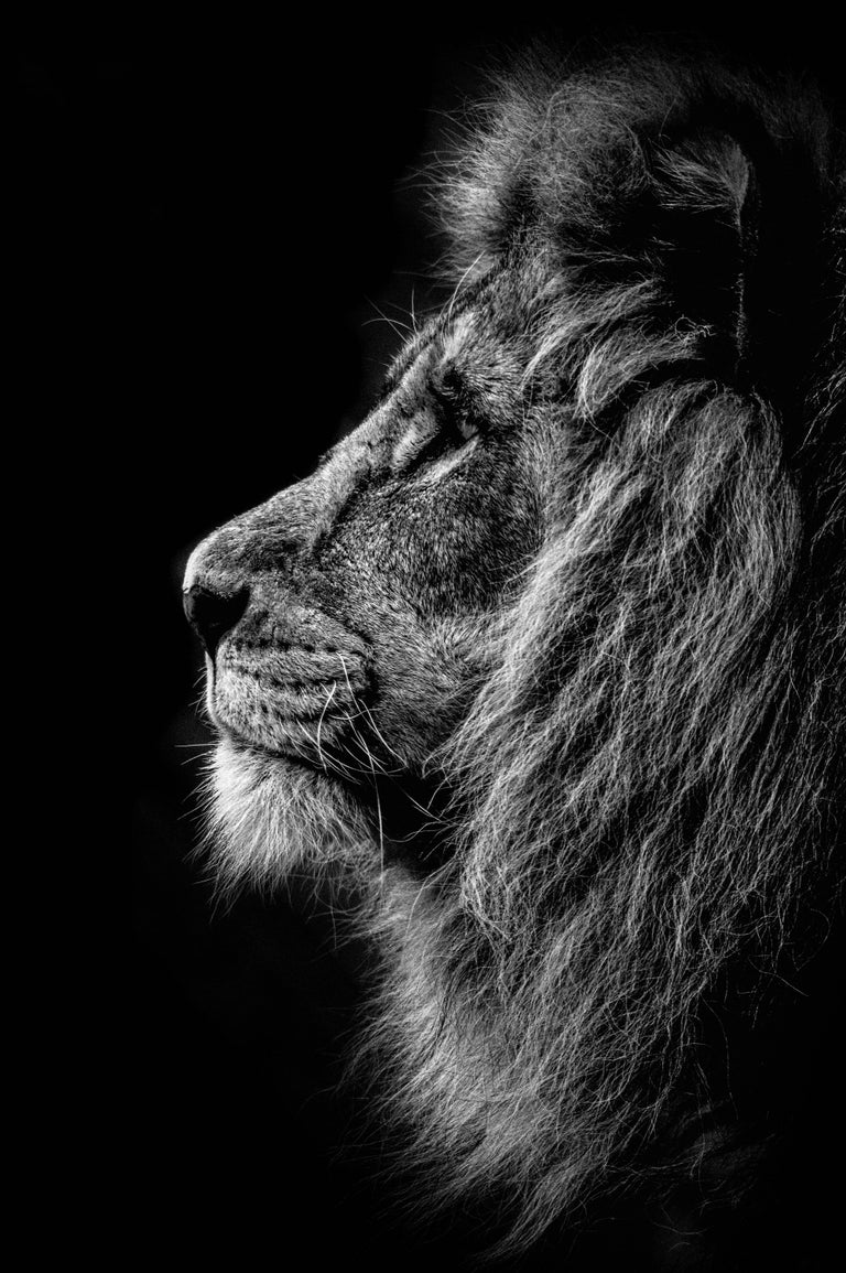 A dominant male african lion photographed posing proudly these images can be technically challenging prince of darkness black and white photography