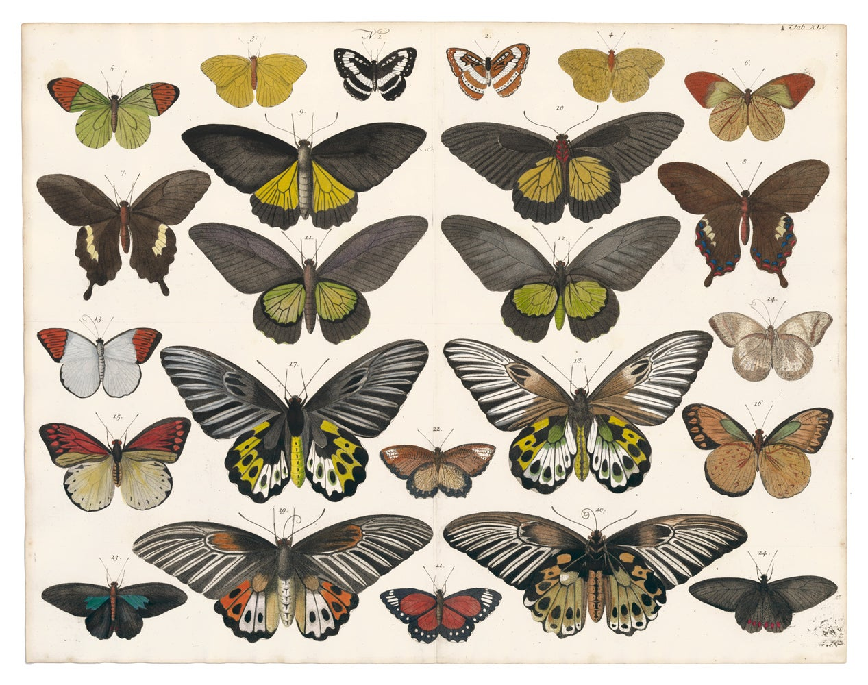Engraving of Butterflies and Moths