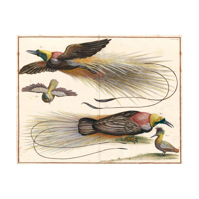 Hand-Colored Birds of Paradise Engraving