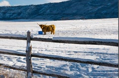 Scottish Highland Cow in Colorado 1/2 ( cow, fence, winter, snow)