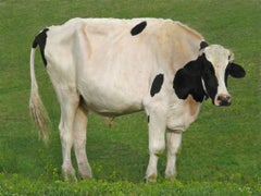 Holy Cow! (cow, photograph, green grass)