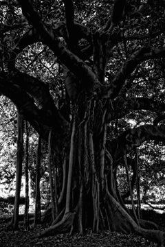 'Black Tree' Sydney (Archival Pigment print)