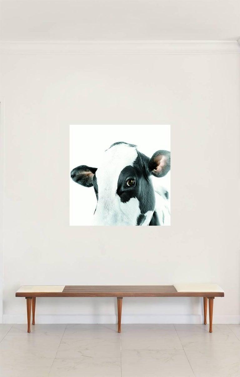 Mauricio Velez Portrait Photograph - Half Angels Half Demons - Cow #3, Large Archival Pigment Print