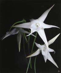Lilies (Large)