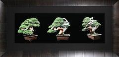Three Bonsai Trees, Large Photograph by Jonathan Singer