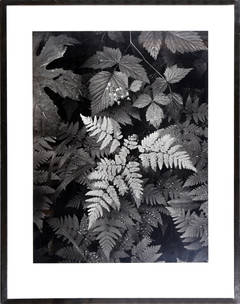 Ferns, Mount Rainier National Park, Ansel Adams Photograph
