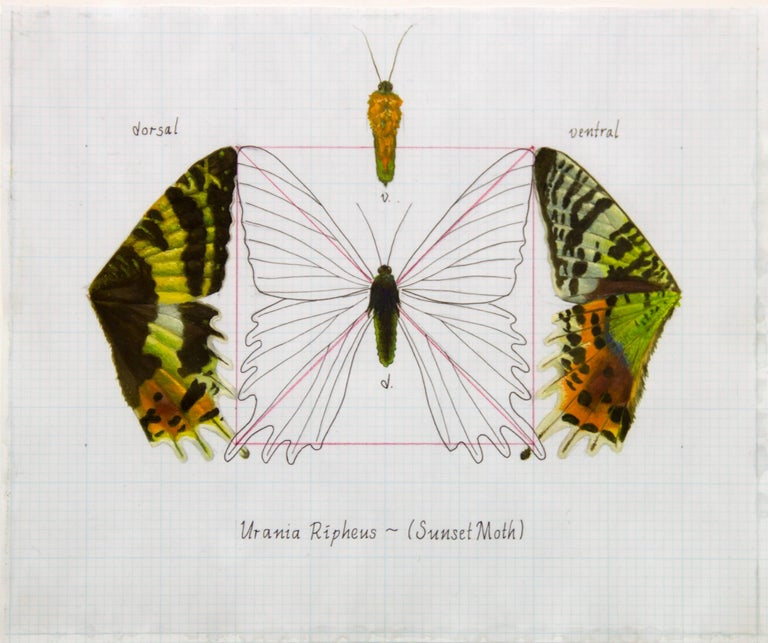 """Urania Ripheus (Sunset Moth)"" Realism Painting/Drawing"