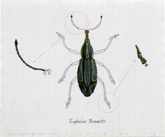 """Eupholus Bennetti (Blue Beetle)"" Realism Painting/Drawing"
