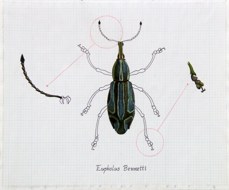 "Zane York Still-Life Painting - ""Eupholus Bennetti (Blue Beetle)"" Realism Painting/Drawing"