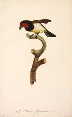 Jacques Barraband, Le Barbu a plastron noir.  No. 28, engraving, 1806