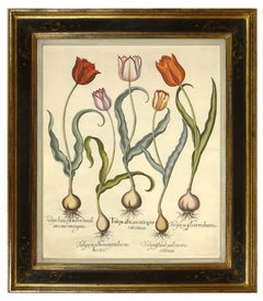 Basilius Besler, Pair of Hand-coloured Tulips, copper engraved plates, 1713.