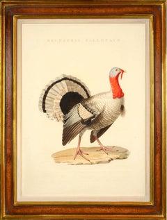 Turkey:  MELEAGRIS GALLOPAVO, from Nederlandsche Vogelen