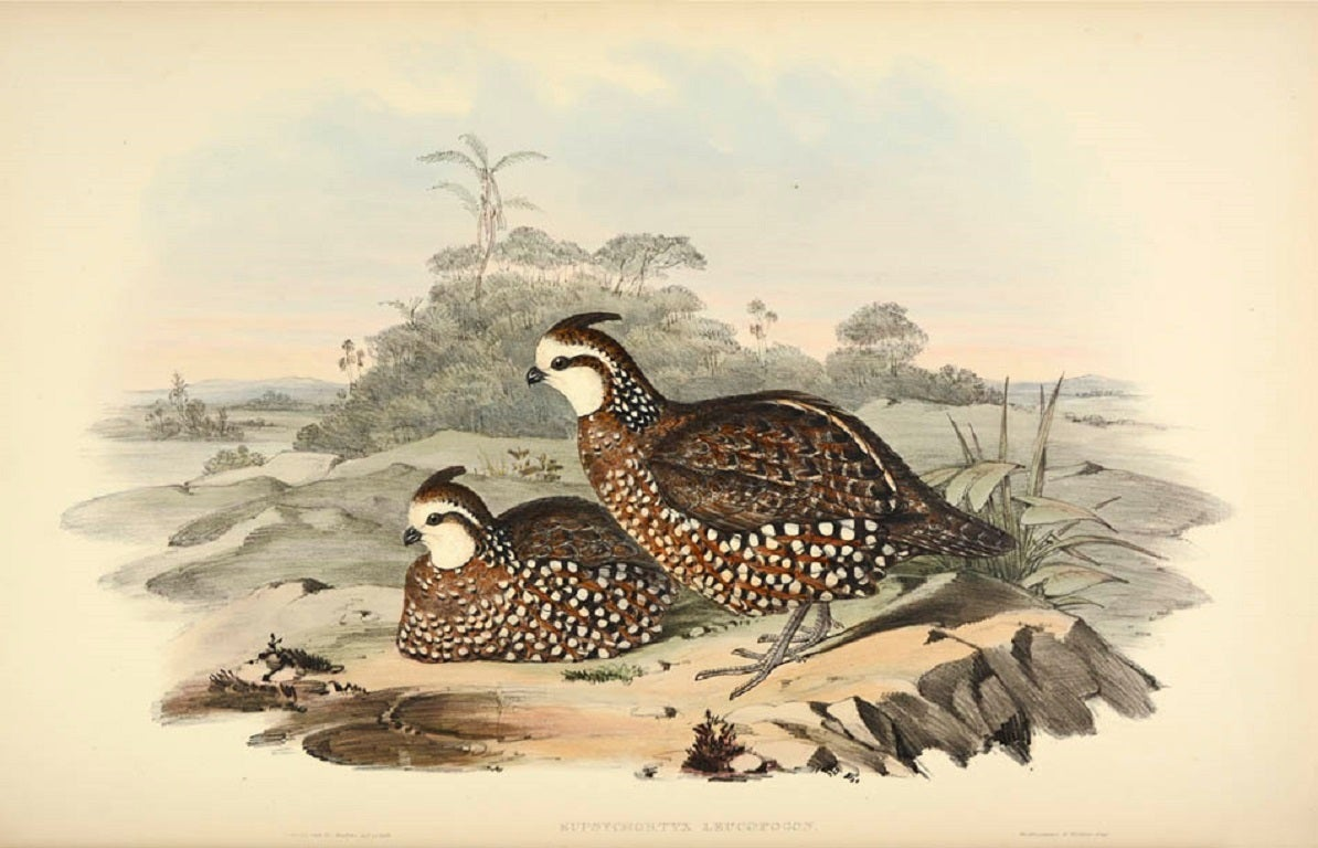 A monograph of the odontophorinae, or partridges of America. 2