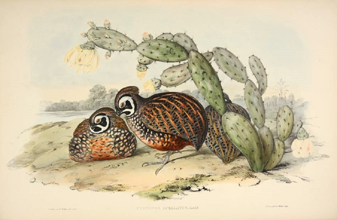 John Gould - A monograph of the odontophorinae, or partridges of America. 1