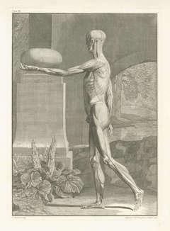 [Pair of Anatomical Studies].