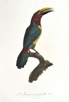 L'Aracari vert, femelle. No17.