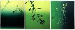 Colza (triptych)