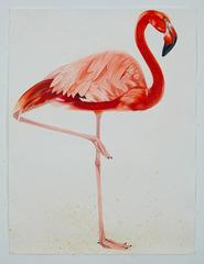 American Flamingo, facing right