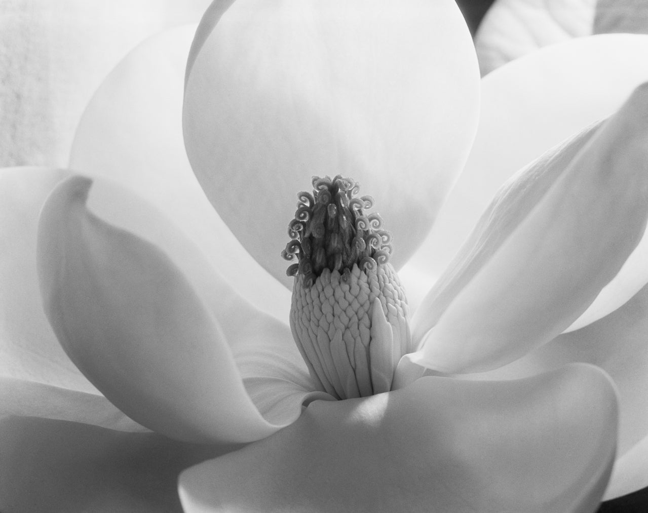 Imogen Cunningham Black and White Photograph - Magnolia Blossom