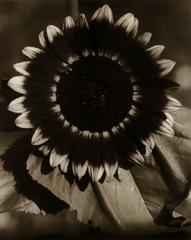 "Edward Steichen - Bee on a Sunflower, Part of Series ""Sunflowers from Seed to Seed"""