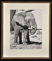 Matriarch – African Elephant