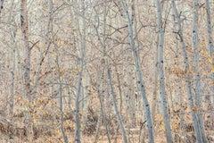"""Windswept, Mono Lake"", color photograph, landscape, aspen, grove, autumn, grey"